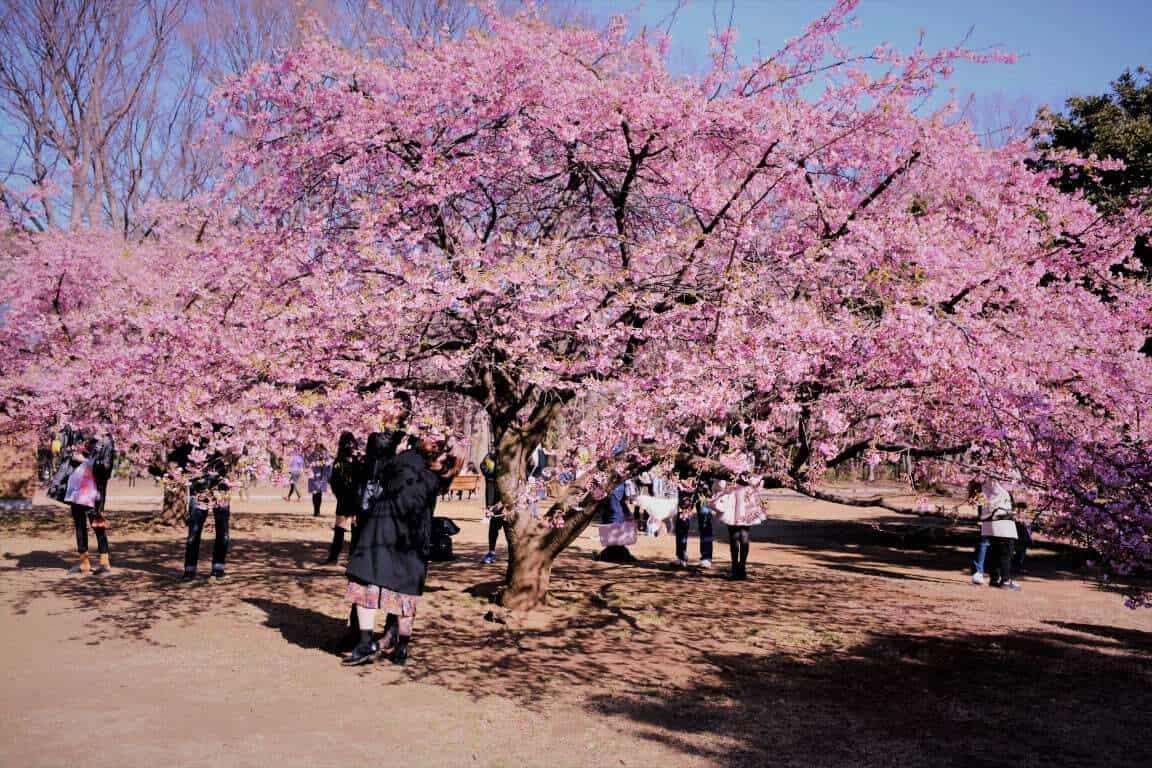 Japan beautiful Cherry trees